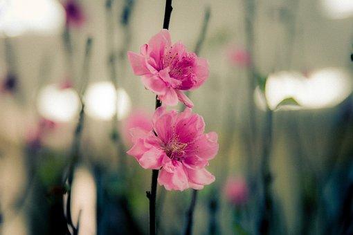 Cherry Blossom, Spring, Pink, Flower, Flowers Bloom