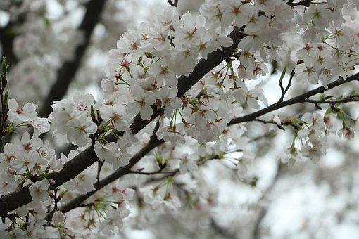 Cherry Blossom, Wuhan University, Cherry Blossom Season