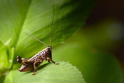 Green, Grasshopper, Insect, Close Up, Viridissima