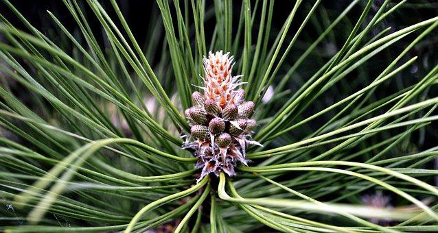 Spring, Pine, Green, Nature, Coniferous