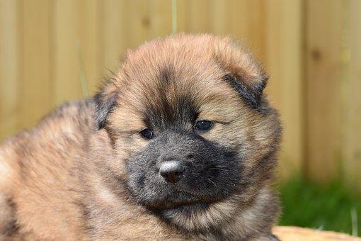 Dog, Bitch, Eurasier Puppy, Eurasier Female Plou