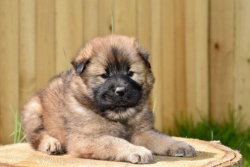 Dog, Dog Eurasier, Dog Eurasier Plou, Young Puppy, Pup
