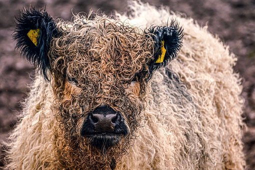 Galloway Beef, Domestic Cattle, Small Breed, Cattle