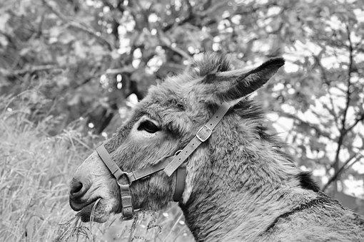 Donkey, Photo Black White, Gray Donkey