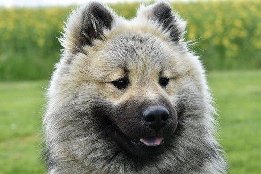 Dog, Young Dog Eurasier, Eurasier Olaf Blue, Pup