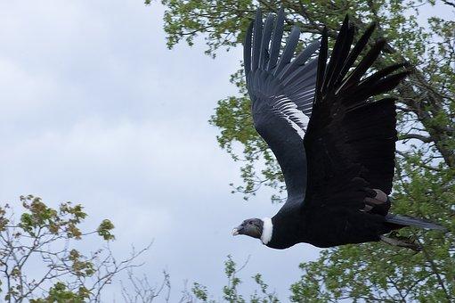 Raptor, Vulture, Bird, Scavenger, Feathers, Flight