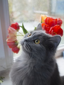 Cat, Tulips, Portrait, Furry, Flowers, Animals