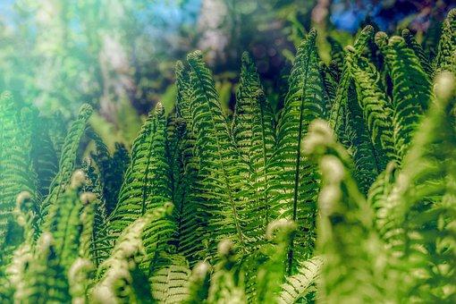 Fern, Forest, Nature, Green, Growth, Flora, Fiddlehead