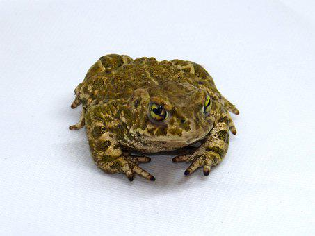 Frog, Batrachian, Detail, Toad, Amphibious, Sapito