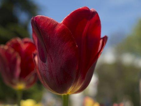Tulip, Spring, Garden, Flora, Tulips, Flowers, Red