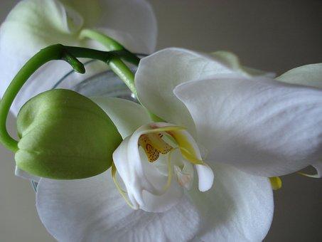 Orchid, Flower, Plants, White Flower, Glowing, Beauty