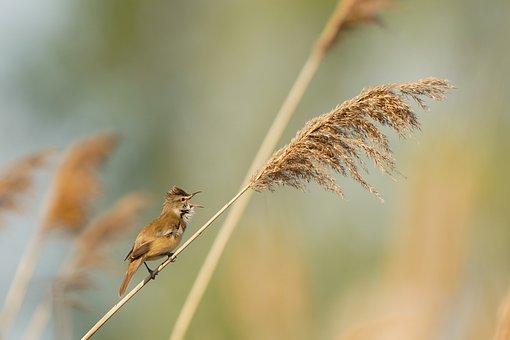 Great Reed Warbler, Bird, Male, Avian, Reed, Animal