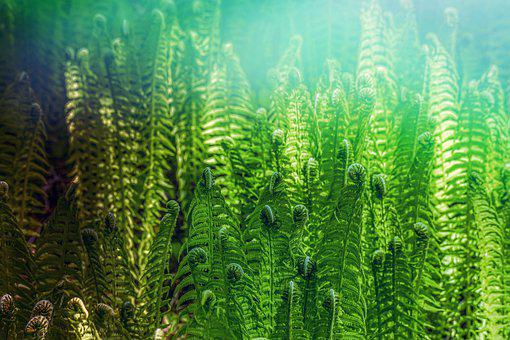 Fern, Forest, Nature, Green, Growth, Flora, Close Up
