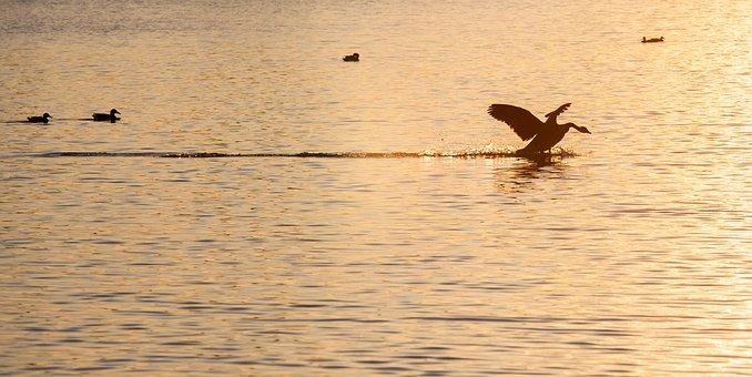 Goose Landing, Goose, Sunset, Waterfowl, Lake, Splash