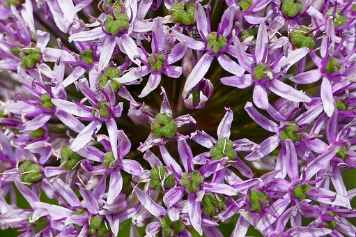 Nature, Garden, Flowers, Ornamental Onion, Close Up