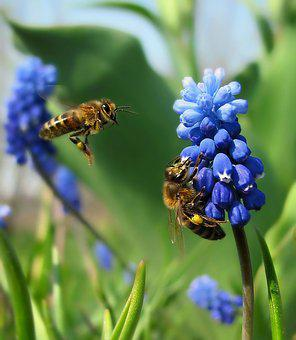 Nature, Spring, Sunny Day, Flowers, Blue, Muscari