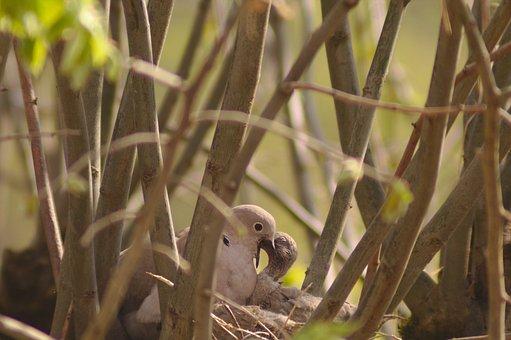 The Beaked, Dove, Bird, Nest, Ornithology, Nature