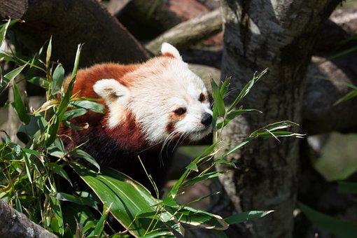 Red Panda, Animal, Zoo, Panda, Bamboo, Pandas, Tree