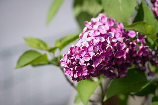 Lilac, Pink, Blossom, Bloom, Lilac Flower, Spring