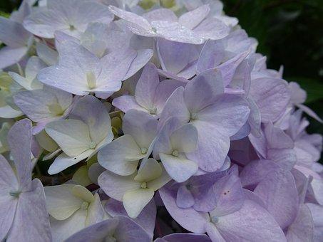 Plant, Flowers, In Full Bloom, Purple, Flower, Garden