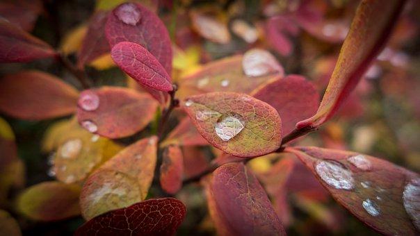 Autumn, Blueberry, Plant, Nature, Drop, Macro