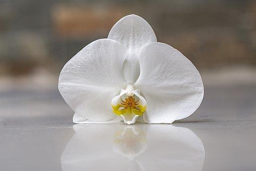 Orchid, Flower, Flowers, Plant, Tropical, Flowering