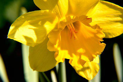 Narcissus, Blossom, Bloom, Yellow, Spring, Plant
