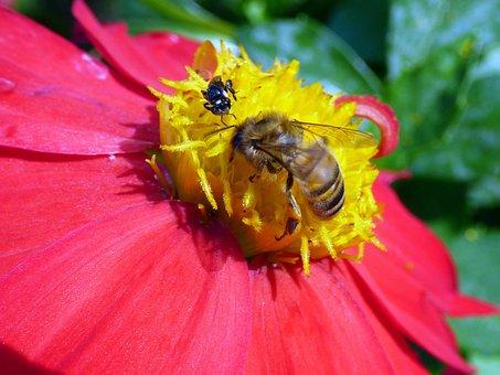 Honey Bee, Bee, Honey, Insect, Nectar, Pollen, Animal