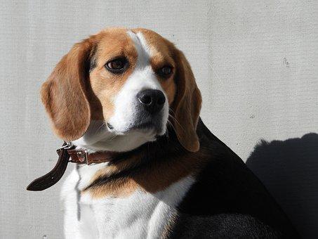 Beagl, Dog, Kennel, Animals, Portrait, Assistant, Nice