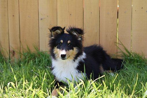 Dog, Pup, Shetland Sheepdog