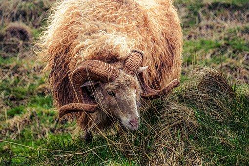 Sheep, Aries, Horns, Ram, Domestic Sheep, Skudden