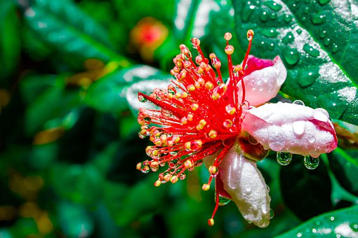 Feijoa, Flower, Edible, Petals, Plant, Pink, Red Yellow