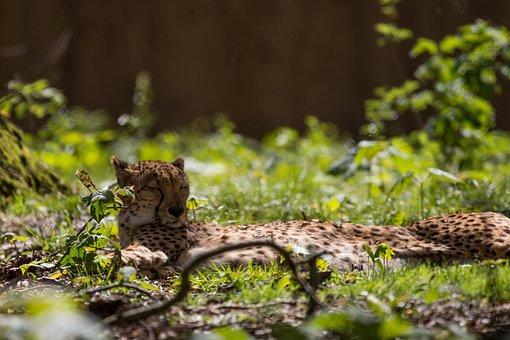 Cheetah, Animal, Nature, Cat, Wild, Wildlife, Safari