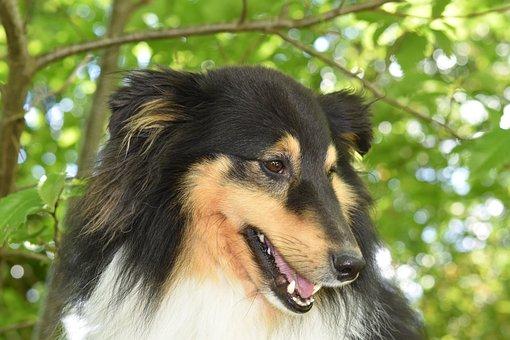 Dog Shetland Sheepdog, Shetland Sheepdog I Love
