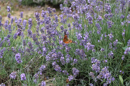Lavender, Butterfly, Nature, Flower, Plants, Summer