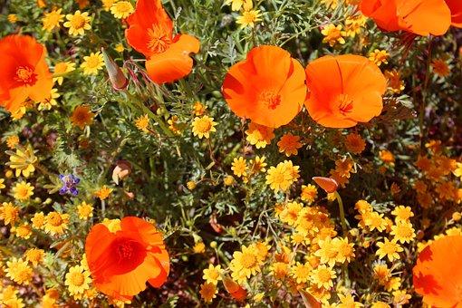 Superbloom, Poppies, California, Southwest, Desert
