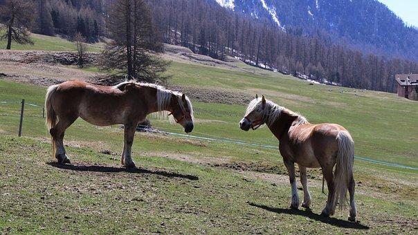 The Horse, Meadow, Graze, Horses, Para, Haflinger