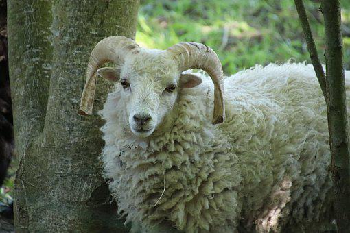 Ram, Young, Horns, Ungulates, Cute, Ruminants, Mammals