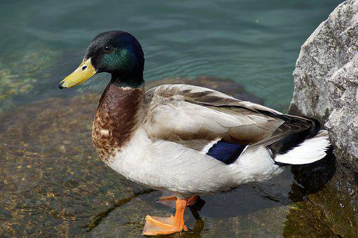 Duck, Mallard, Lake, Water, Bird, Animal World, Nature