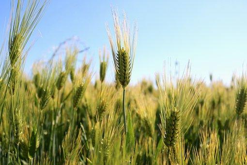 Wheat, Wheat Field, Gluten, Agriculture, Grain, Food