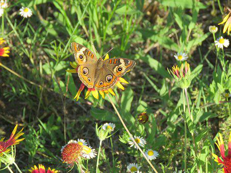 Butterfly, Insect, Wildflowers, Natural, Wildlife