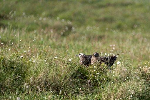 Great Skua, Nest, Couple, Bird, Avian, Nature, Wildlife