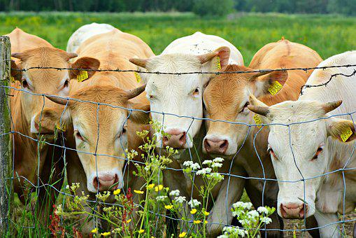 Cow, Cattle, Mammal, Animal, Livestock, Farm, Rural