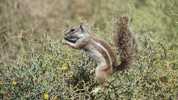 Chipmunk, Nager, Fuerteventura, Animal, Nature, Cute