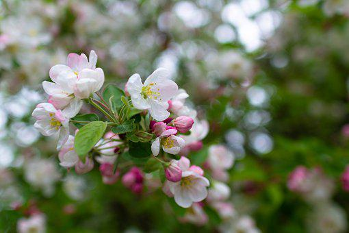 Blossom, Apple Blossom, Apple Tree, Pink, Bloom, Branch