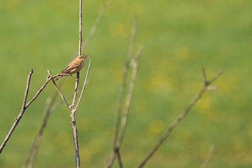Sedge Warbler, Bird, Avian, Animal, Wildlife, Nature