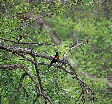 Bird, Botanical Garden, Nyc, Swamp, Black, Red, Nature