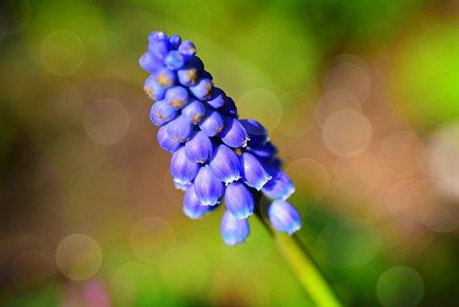 Muscari, Flower, Plant, Grape Hyacinth, Blue, Petal