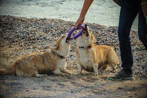 Dog, Corgi, Shepherd, Welschcorgi, Pet, Breed, Beach
