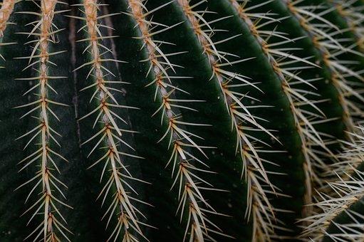 Golden Ball Cactus, Echinocactus Grusonii, Cactus
